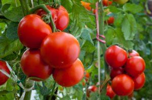 Чехи вырастили 5 акров «криптоматов» на тепле от майнинга